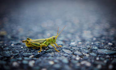 Green grasshopper against dark background
