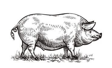 Black and white illustration of a pig
