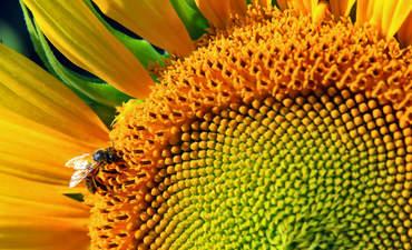 Honeybee on a sunflower