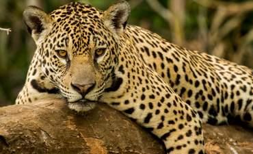 A jaguar in the Brazilian Pantanal
