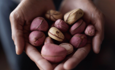 kola nut is the fruit of the kola tree