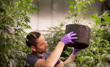 Marijuana meets Big Food: Why green weed isn't easy to grow featured image