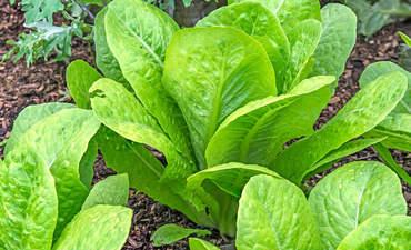 Lettuce growing in dirt
