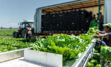 Tractor with production line for automatic lettuce harvesting