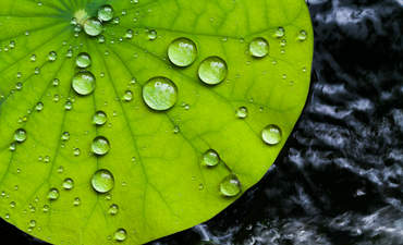 Lotus leaf with water droplets