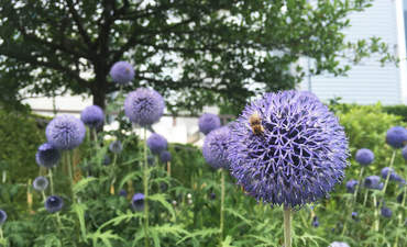 Why Chicago is pollinating bee populations featured image