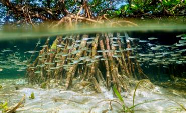 mangrove grove