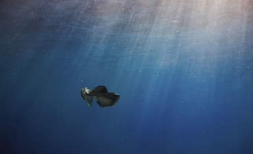 manta ray feeds amidst plastic pollution