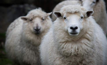 Merino rams in New Zealand