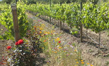 Pollinator loss in the vineyards, and what some are doing about it featured image
