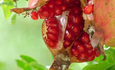Pomegranates on a tree
