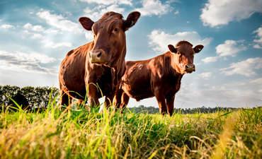 Beefmaster cattle