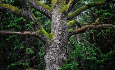 oak tree Sweden