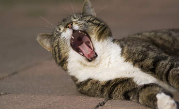 cat yawn, climate UN COP21 boring