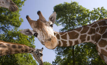 giraffe evolution and climate adaptation