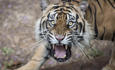 predator tiger biodiversity and climate change