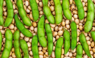 Green soy beans and dry soy beans together
