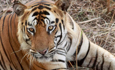 In India, intelligence gathering and big data help save tigers featured image