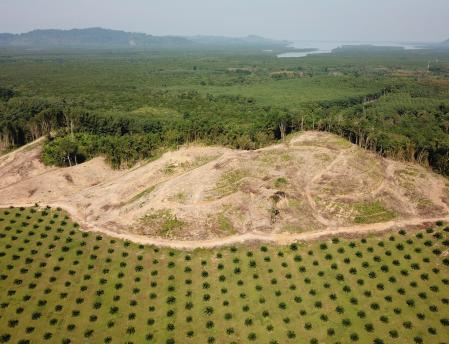 Palm oil plantation showing deforestation in Southeast Asia.
