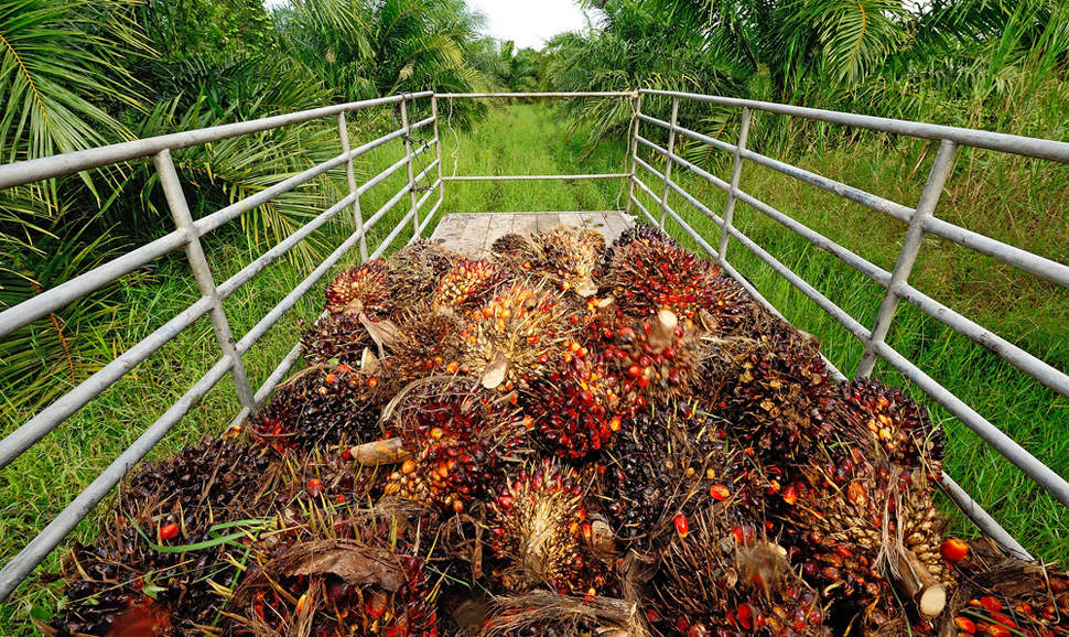 palm oil fruit