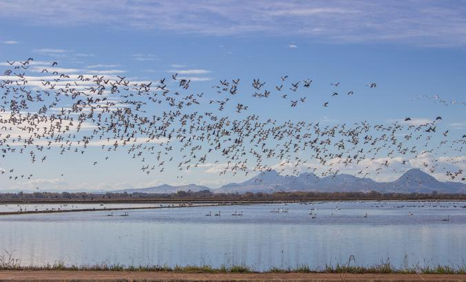 Migrating waterfowl take off from winter-flooded rice fields in California's Sacramento Valley