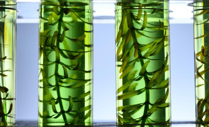 Algae seaweed in test tubes for laboratory research