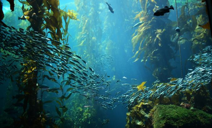 Kelp forest views from below the ocean surface