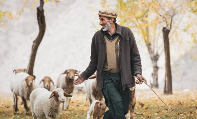 Person walking with pasture cattle in Hunza Valley, Pakistan in October 2019.