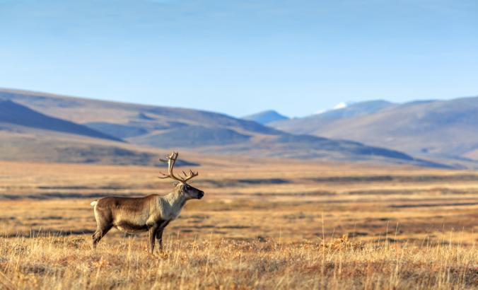 Lone reindeer in the tundra Chukotka, Siberia, with hills seen in the distance.