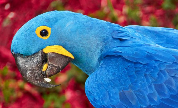 Spix macaws, native to central and eastern South America.