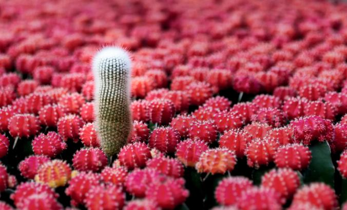 One green cactus stands out among other cacti with red-ish pink tops