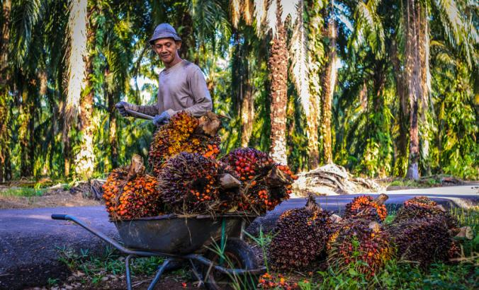 Worker throwing the oil palm fruit branch into trolley, in Johor Bahru, Malaysia.