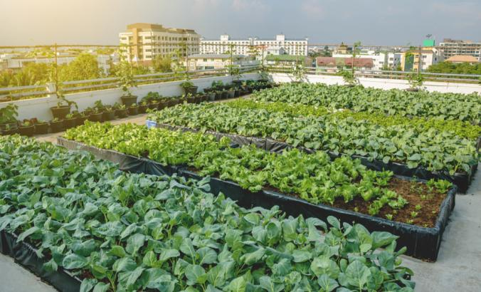 Growing vegetables on the rooftop of the building