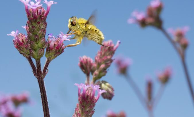 Golden insect with wings flies near pink flowering plant.